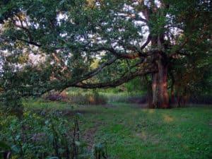 Big John, and old oak on the Catoctin Creek in Waterford Virginia
