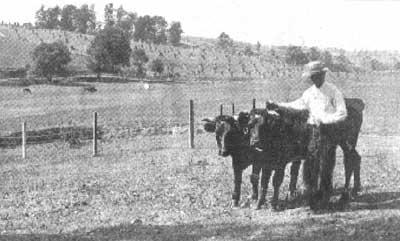 Yoked bullocks on a Waterford farm - on their best behavior